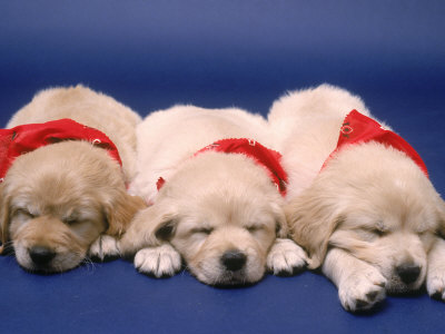 golden retriever puppy pics. Three Golden Retriever Puppies
