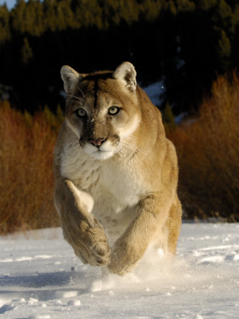 Mountain Lion, Winter, USA Stretched Canvas Print
