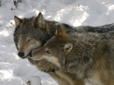 Gray Wolf, Two Captive Adults Kissing, Montana, USA Stretched Canvas Print
