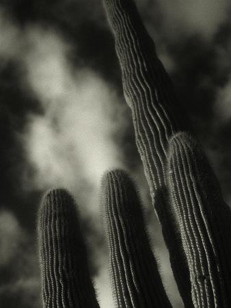 Saguaro Cactus, Kofa Nwa, AZ Stretched Canvas Print