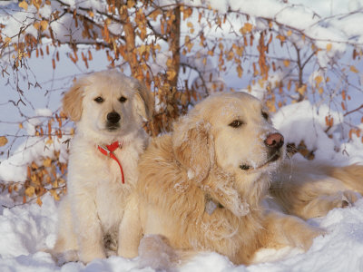 golden retriever puppies for sale in wisconsin. Akc Golden Retriever Female
