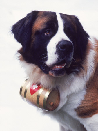 St. Bernard with Rescue Barrel Stretched Canvas Print