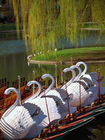 Swan Boats, the Public Garden, Boston, MA Stretched Canvas Print
