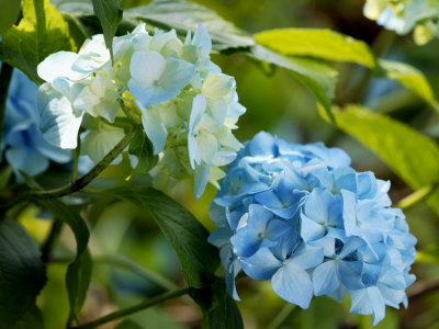 Hydrangea Macrophylla (Mophead Hydrangea), Close-up of Blue Flowers Stretched Canvas Print