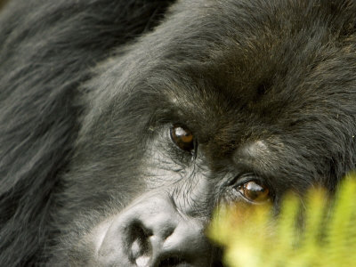 Mountain Gorilla, Close-up of Face Looking Through Fern, Africa Stretched Canvas Print
