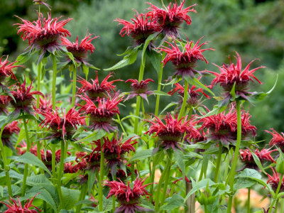 Monarda (Squaw) Stretched Canvas Print