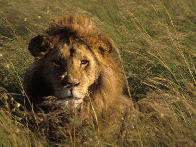 Lion in Long Grass, Masai Mara National Park, Kenya Stretched Canvas Print