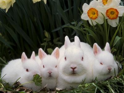 Netherland Dwarf Rabbits Other