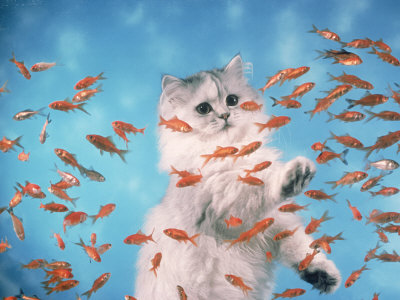 goldfish. Cat Observing Goldfish in an