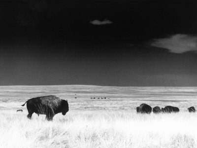 Buffalo Grazing, Buffalo Gap Nat Grassland, SD Stretched Canvas Print