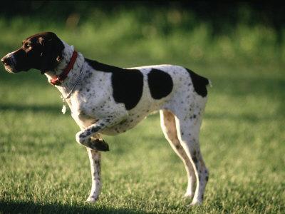 German Short Haired Terrier. German Short-Hair Pointer