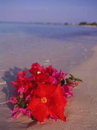 Hibiscus and Bouganvilla on Beach, Cayman Islands Stretched Canvas Print