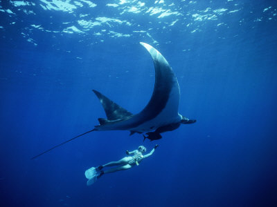 Diver Swims with Giant Manta Ray, Mexico Stretched Canvas Print