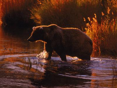 Grizzly Bear, Ursus Arctos Middendorffi, AK Stretched Canvas Print