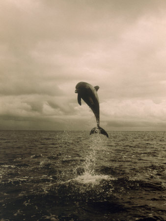 Bottlenose Dolphin Jumping Out of Water Stretched Canvas Print