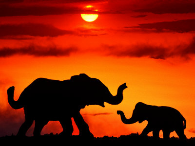 Adult and Young Elephants, Sunset Light Stretched Canvas Print
