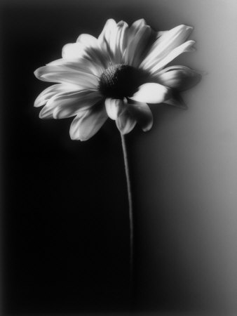 Single Daisy Stretched Canvas Print
