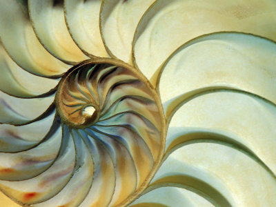Close-up of Nautilus Shell Spirals Stretched Canvas Print