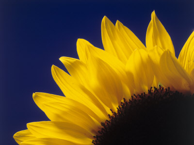 Sunflower in Studio Close-up Stretched Canvas Print