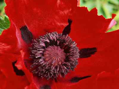 """Papaver Orientale (Goliath Group) """"Beauty of Livermere,"""" Red Flower Stretched Canvas Print"""