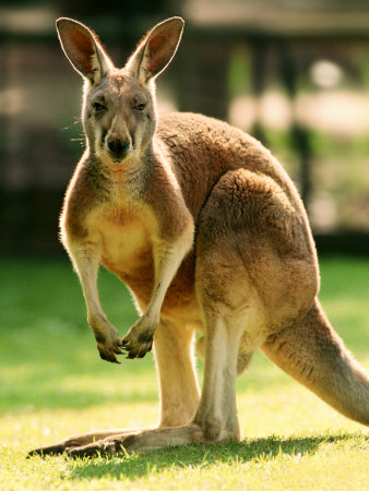 Australian Kangaroo Stretched Canvas Print