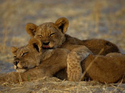 Two Lion Cubs Snuggle Together on the Ground Stretched Canvas Print