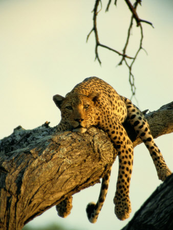 A Leopard Lounges in a Tree Stretched Canvas Print
