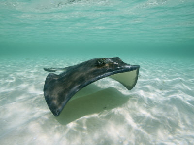 A Southern Stingray Glides Gracefully Through Pristine Water Stretched Canvas Print