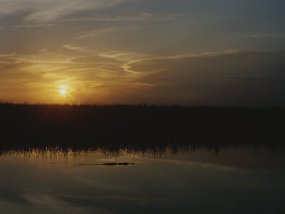 An Alligator in Silhouette Glides Through Wetlands at Sunset Stretched Canvas Print