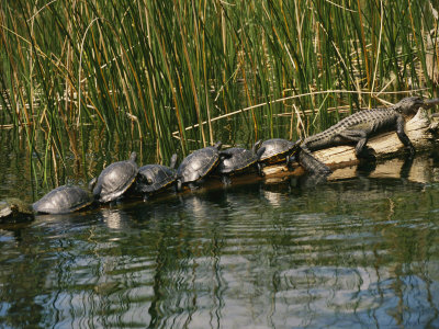 A Group of Aquatic Turtles and an American Alligator Bask on a Log Stretched Canvas Print