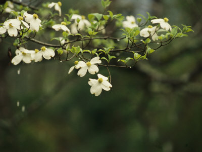 Delicate White Dogwood Blossoms Cover a Tree in the Early Spring Stretched Canvas Print