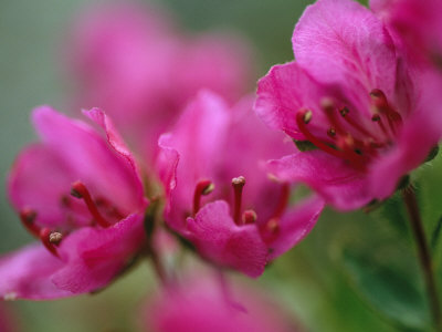 Close View of Kamchatka Rhododendron Blossoms on St. George Island Stretched Canvas Print