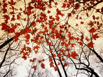 Bare Branches and Red Maple Leaves Growing Alongside the Highway Stretched Canvas Print