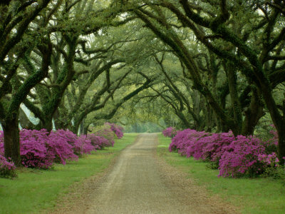 A Beautiful Pathway Lined with Trees and Purple Azaleas Stretched Canvas Print