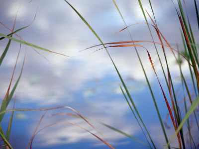 Sedges and Sky Stretched Canvas Print