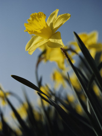 Close-up of Blooming Daffodils Stretched Canvas Print