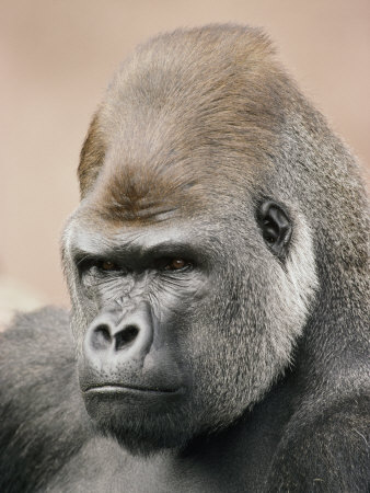 A Portrait of a Western Lowland Gorilla Stretched Canvas Print