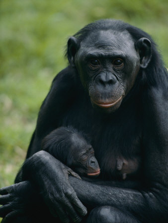 A Mother Bonobo Holds Her Baby at the San Diego Wild Animal Park Stretched Canvas Print