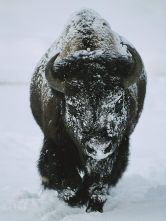 A Frost-Covered American Bison Bull Walks Through the Snow Stretched Canvas Print