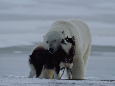 A Polar Bear (Ursus Maritimus) and a Husky Cuddle up to Each Other in the Snow Stretched Canvas Print