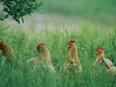 http://cache2.artprintimages.com/p/LRG/26/2686/PGWUD00Z/art-print/joel-sartore-four-buff-orpington-hens-in-tall-grass.jpg