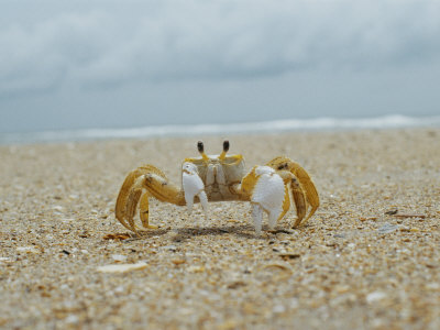 Eye to Eye View of a Ghost Crab on the Beach Stretched Canvas Print