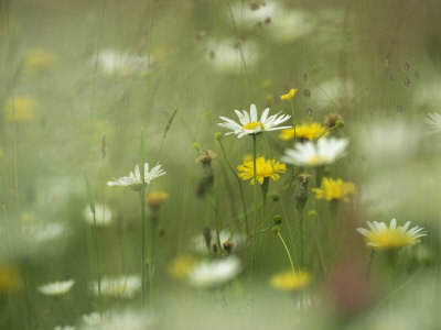 Field Filled with Daisies and Dandelions in Bloom Stretched Canvas Print