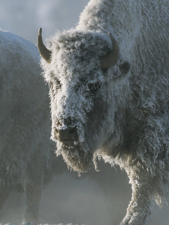 Frost Covers the Coat of an American Bison on a Chilly Morning Stretched Canvas Print