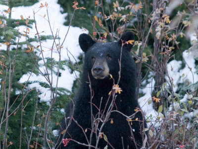 A Black Bear Looks Out of a Forest While Hunting for Food Stretched Canvas Print