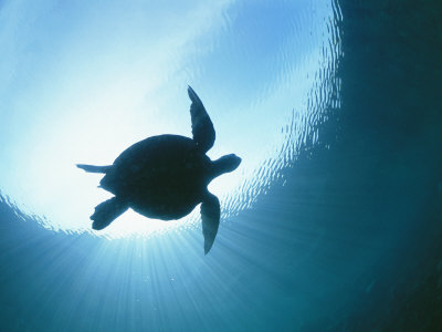 A Silhouetted View of an Endangered Loggerhead Sea Turtle Stretched Canvas Print