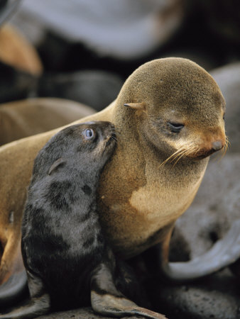 A Northern Fur Seal Pup Nuzzles its Mother Stretched Canvas Print
