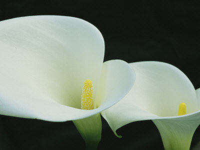 Close View of a Pair of Calla Lilies Stretched Canvas Print