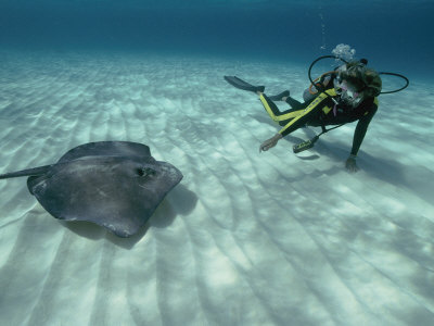 A Diver Swims Close to a Southern Stingray Stretched Canvas Print