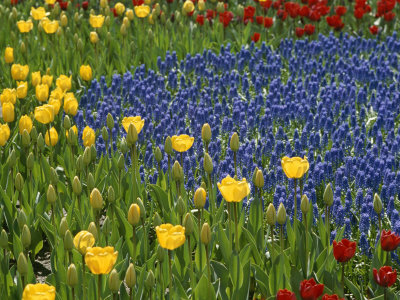 A Garden of Colorful Tulips and Grape Hyacinths in New York City Stretched Canvas Print